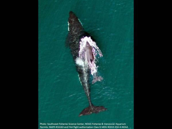 Drone capta imagem impressionante de bebê orca ameaçado e sua mãe